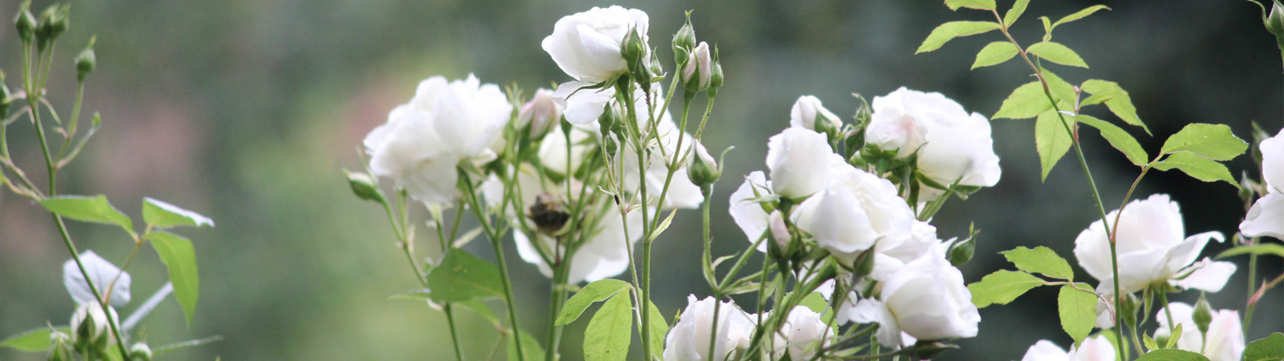 WhiteRose's Garden